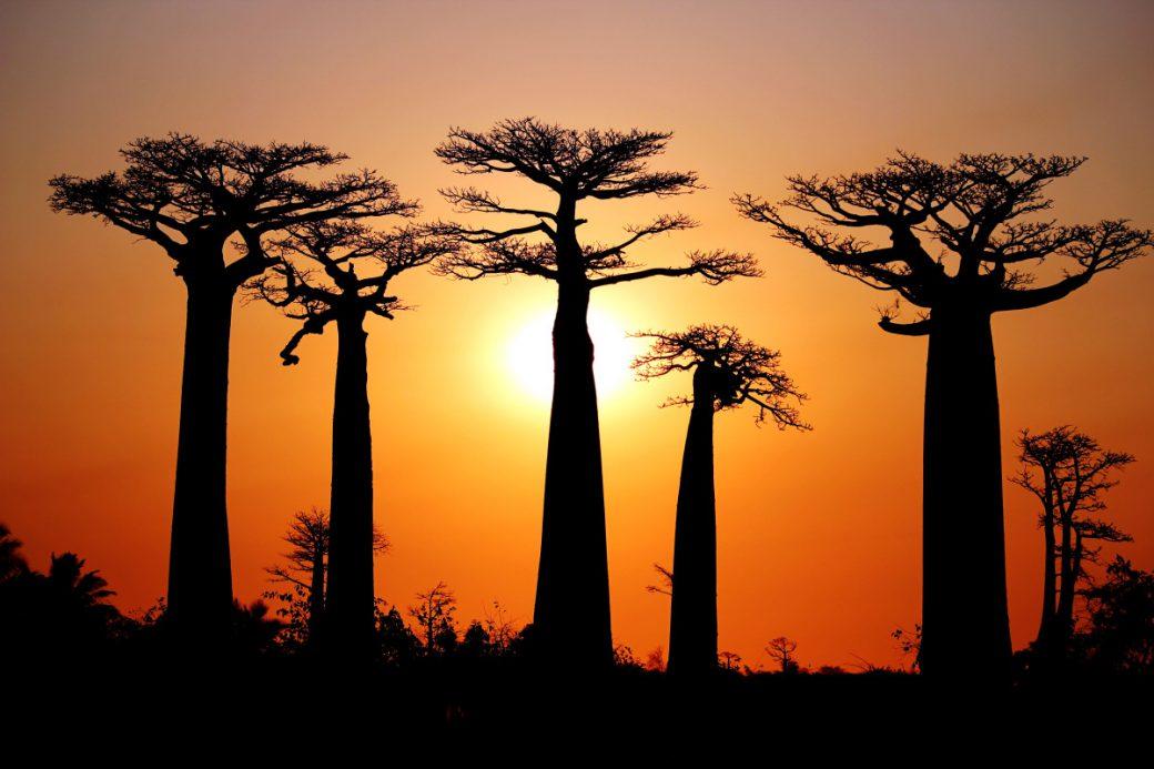 baobab senegalese